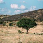 thaba-tree