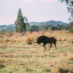 wildebeest-single
