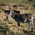 zebr-1