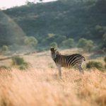 zebra-field