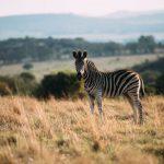 zebra-view