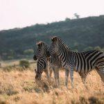 3-zebras